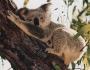 Животное коала фото