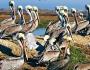 Пеликаны фото