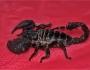 Скорпион-император