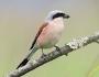 Птица Сорокопут-жулан
