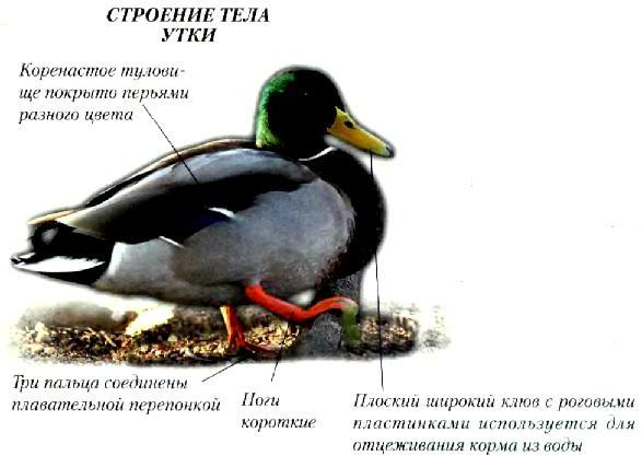 Строение тела утки