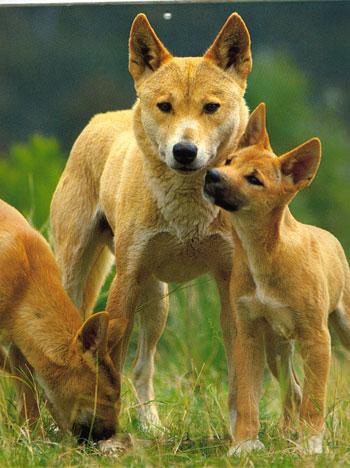 http://faunazoo.ru/wp-content/uploads/2011/03/Dingo.jpg