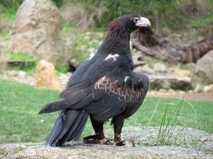 Клинохвостый орел