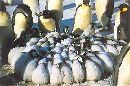 Птенцы императорских пингвинов
