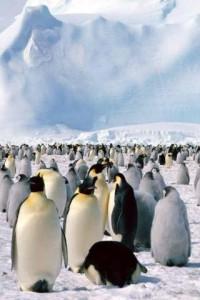 Когда императорские пингвины выводят птенцов?