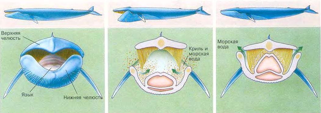Чем усатые киты отличаются от зубатых?