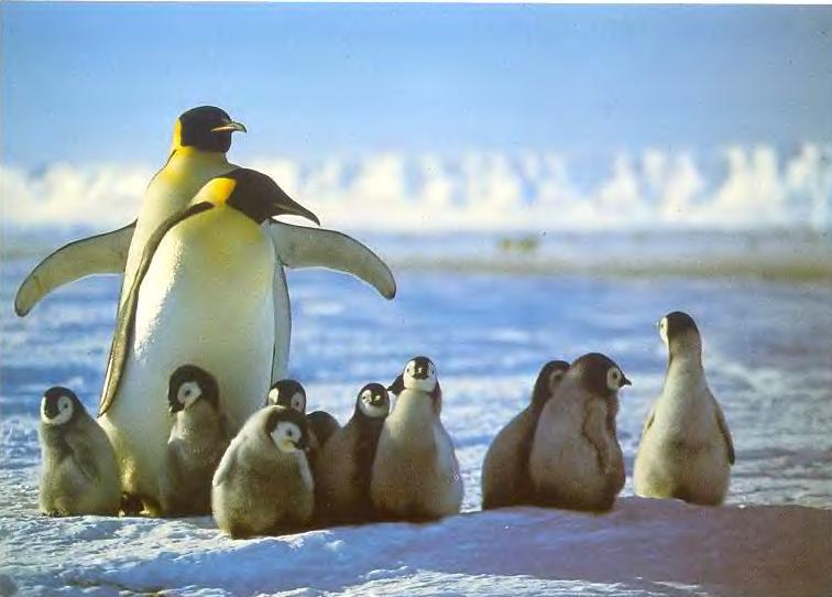 """Императорские пингвины """"детский садик"""""""