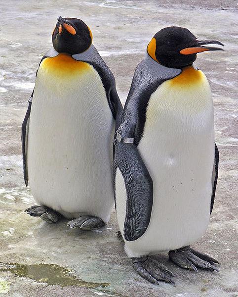 Королевский пингвин
