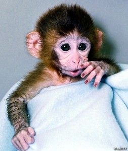 Содержание обезьяны в домашних условиях