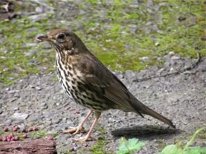 Певчий дрозд птица фото