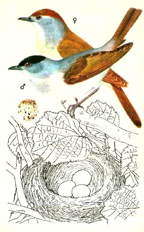 Славка-черноголовка
