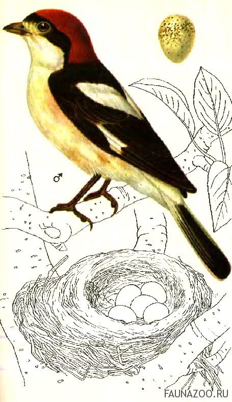 Красноголовый сорокопут