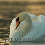 Лебедь-шипун фото