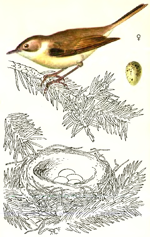 Славка-завирушка