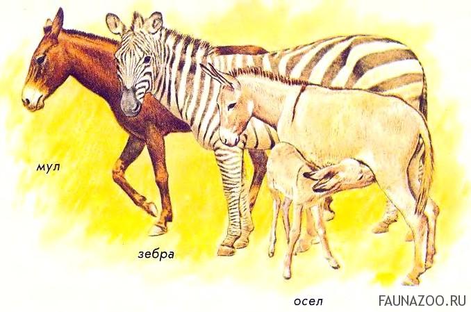 Родственники ли осел и лошадь?