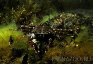 Черноморский краб