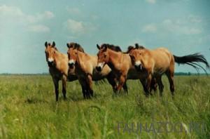 Дюльменские дикие лошади