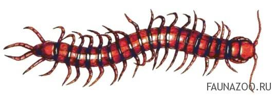 Многоножка-сколопендра
