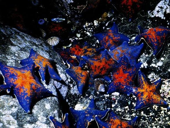 Морские звезды в заливе Петра Великого. Японское море