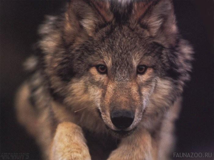 Волки Мордовского заповедника