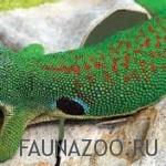 Павлинный геккон