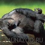 Шимпанзе спит