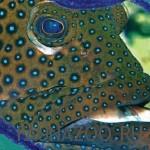 Рыба-павлин