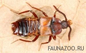 Мирмекофилы рыжих лесных муравьев