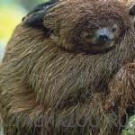 Спящий ленивец