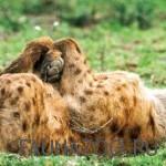 Спящая гиена
