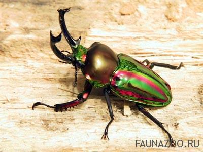 Пластинчатоусые жуки