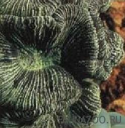 Трахифиллия жоффруа