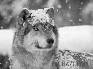 Волк зимой