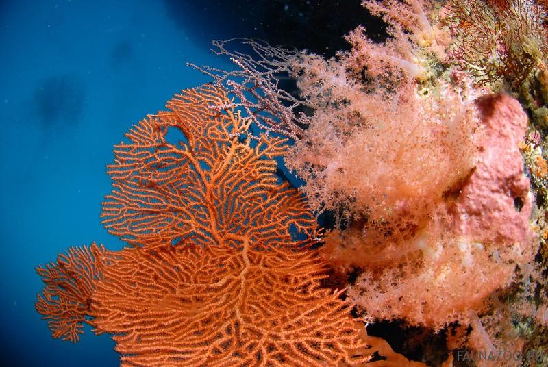 Мягкие кораллы