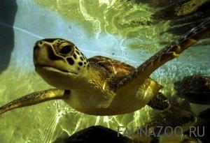 Черепаха-бисса