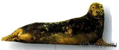 Длинномордый тюлень