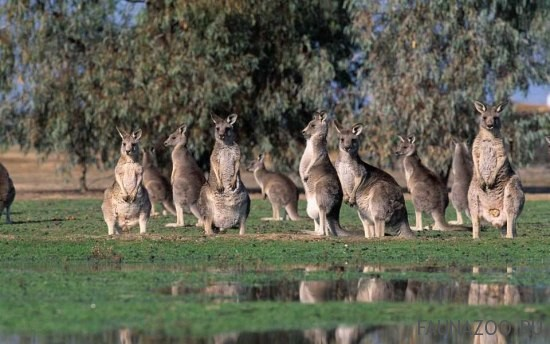 Животные Австралии