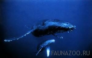 Горбатый кит с китенком