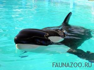Заботливые киты-убийцы