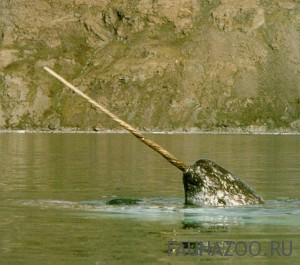 Морской единорог - Нарвал