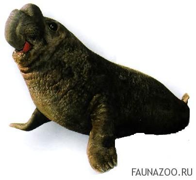 Северный морской слон