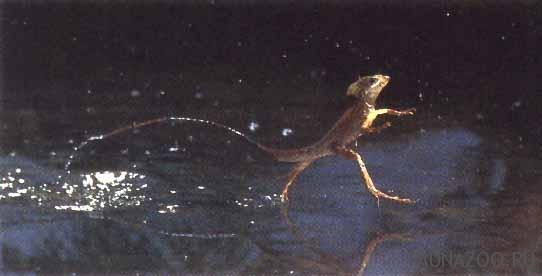 Василиск. Ящерица, которая умеет ходить по воде