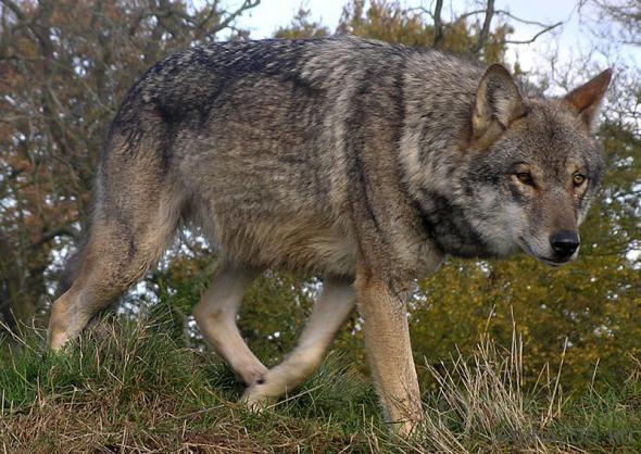 Место обитания волков