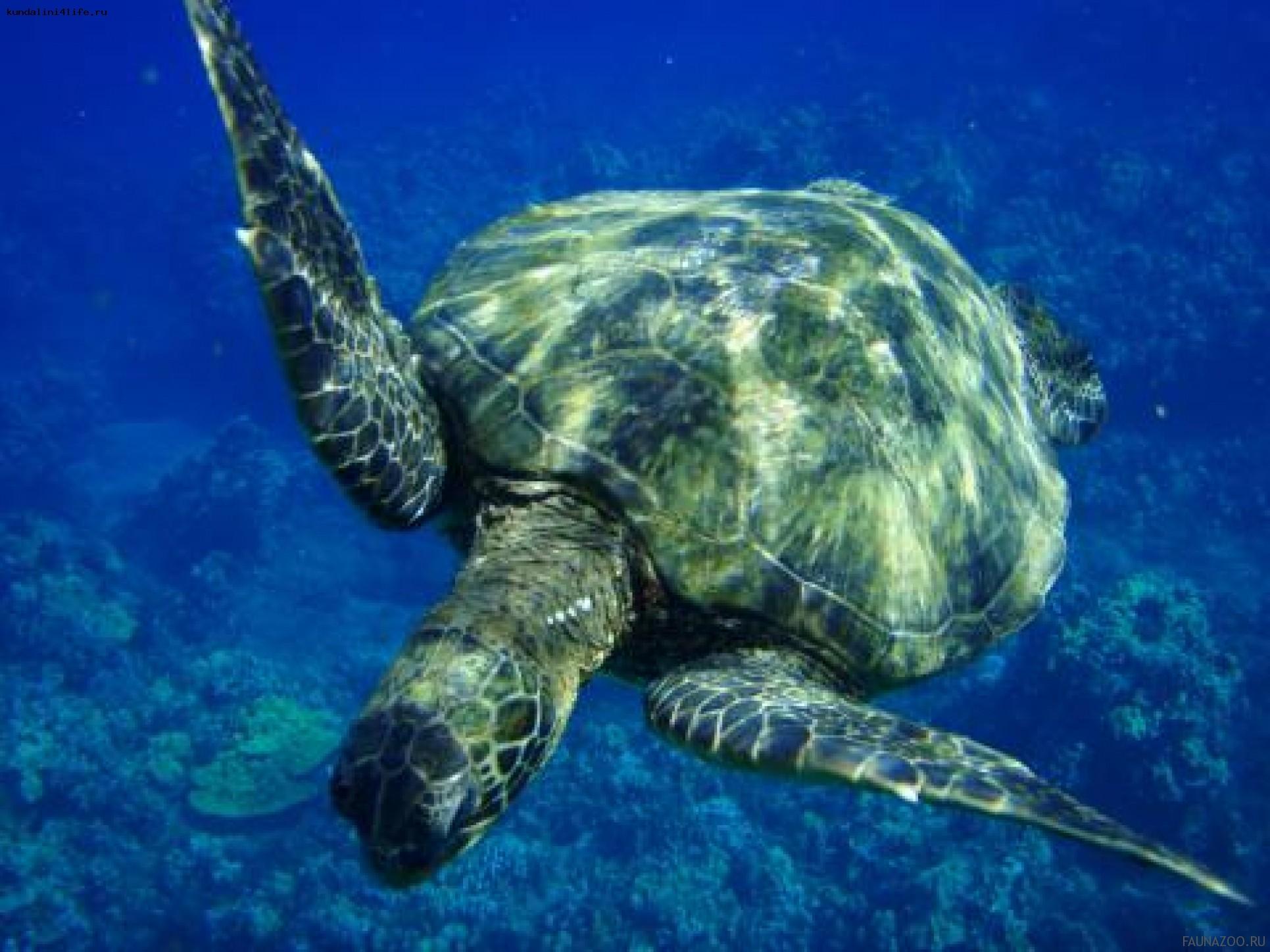 Миграции черепах