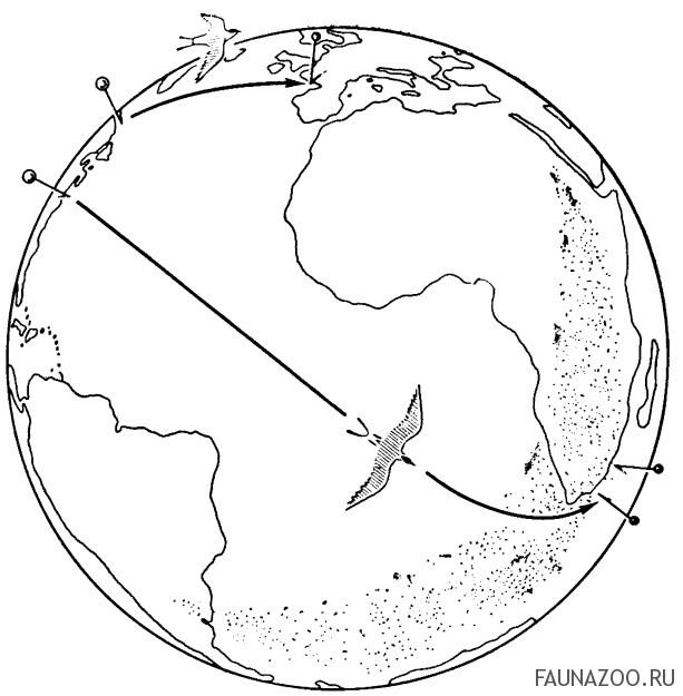 Перелеты окольцованных полярных крачек.
