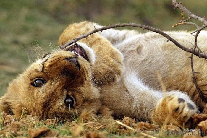 Питание львов