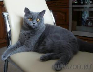 Удаление когтей или антицарапки британской кошке.