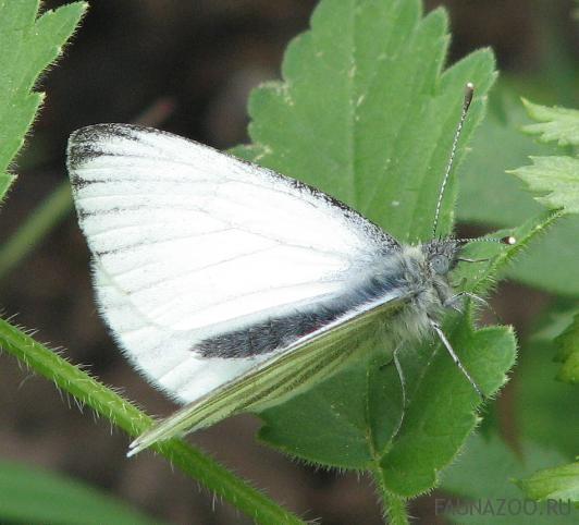 Бабочка-белянка