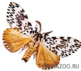 Бабочка монашенка