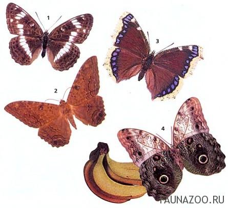Может ли бабочка утолить жажду из лужи?